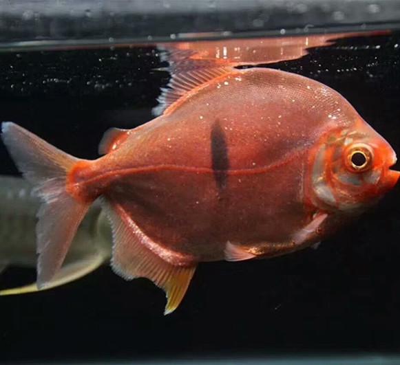 黄石玫瑰银版鱼 黄石水族新品 黄石龙鱼第2张