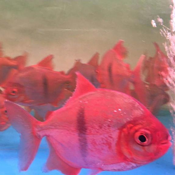 黄石玫瑰银版鱼 黄石水族新品 黄石龙鱼第3张