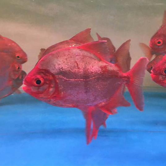 黄石玫瑰银版鱼