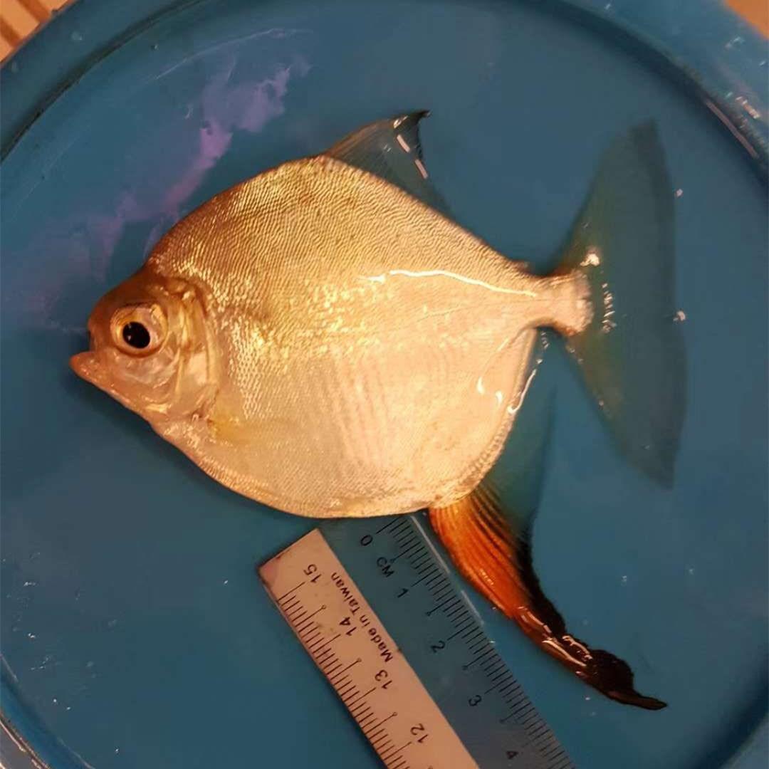 黄石红勾银版鱼